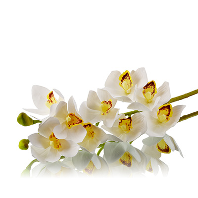 Cymbidium Orchids White