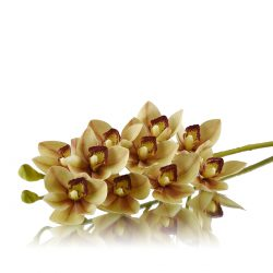cymbidium orchids green